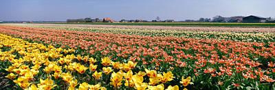 Field Of Flowers, Egmond, Netherlands Poster