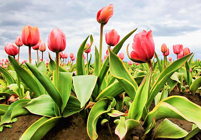 Poster featuring the photograph Field Of Pink Tulips by Athena Mckinzie