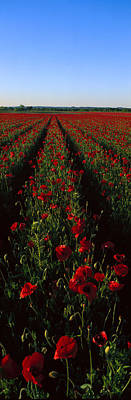 Field Of Poppies Poster by Panoramic Images
