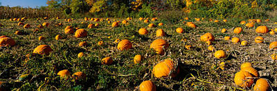 Field Of Ripe Pumpkins, Kent County Poster