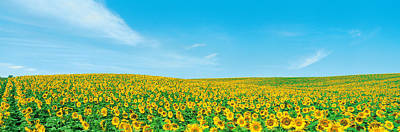 Field Of Sunflower With Blue Sky Poster by Panoramic Images