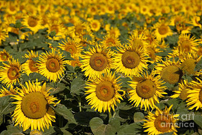 Field Of Sunflowers Poster by Brian Jannsen
