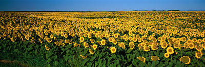 Field Of Sunflowers Nd Usa Poster by Panoramic Images
