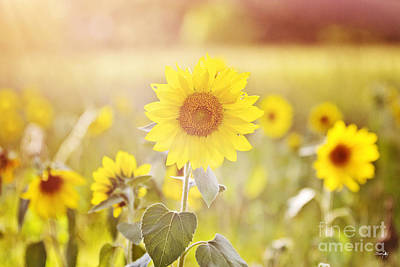 Field Of Sunshine Poster by Scott Pellegrin