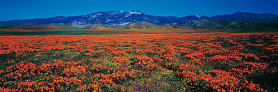 Field, Poppy Flowers, Antelope Valley Poster by Panoramic Images