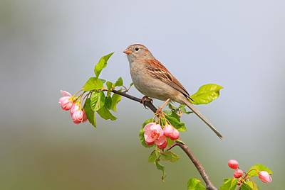 Poster featuring the photograph Field Sparrow On Apple Blossoms by Daniel Behm