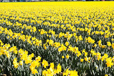 Fields Of Daffodils  Poster