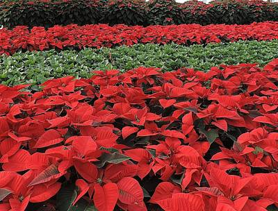 Fields Of Poinsettias Poster