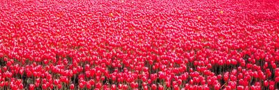 Fields Of Tulips Alkmaar Vicinity Poster