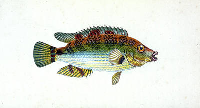 Fifteen-spined Stickleback, Gasterosteus Spinachia Poster by Artokoloro