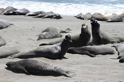 Fighting Elephant Seals  Poster