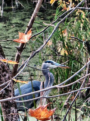 Find The Blue Heron Watercolor  Poster