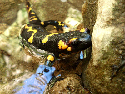 Poster featuring the photograph Fire Salamander  by Lucy D