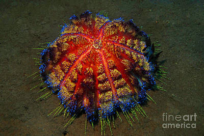 Poster featuring the photograph Fire Sea Urchin by Sergey Lukashin