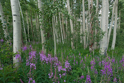 Fireweed And Aspen Poster