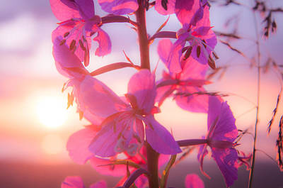 Fireweed At Sunset Poster by Roger Clifford