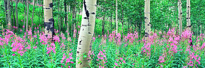 Fireweeds Flowers Among Aspens Poster by Panoramic Images