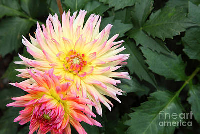 Firey Dahlias 5d25902 Poster by Wingsdomain Art and Photography