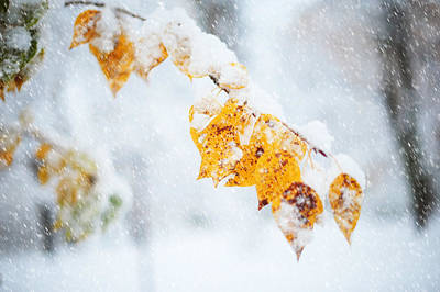 First Snow With Autumn Leaves Poster by Jenny Rainbow