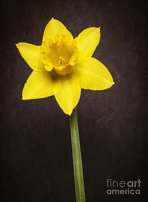 First Spring Daffodil Poster by Edward Fielding