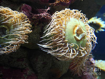 Fish Eating Anemone 5d24900 Poster by Wingsdomain Art and Photography