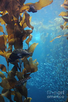 Fish Hiding In Kelp On The Ocean Floor 5d24849 Poster