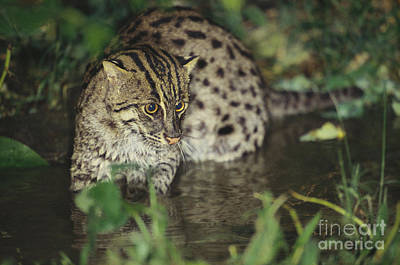 Fishing Cat Poster by Art Wolfe