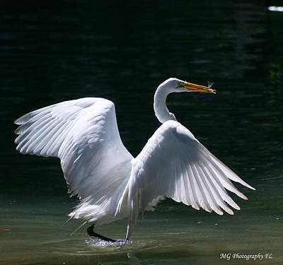 Fishing Egret Poster