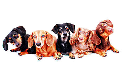Five Dachshunds  Poster