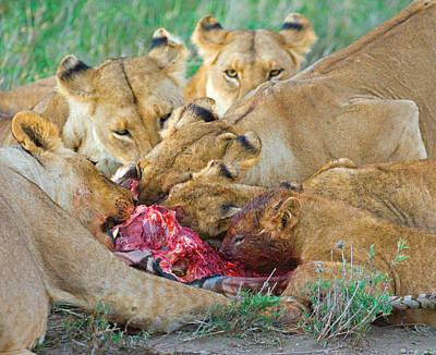 Five Lions Eating A Dead Zebra Poster