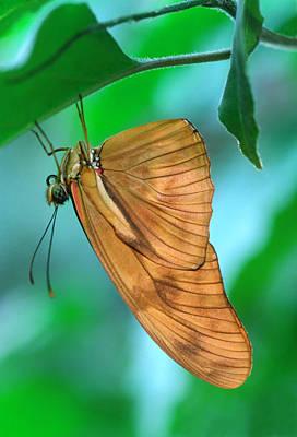Flambeau Butterfly Poster by Nigel Downer