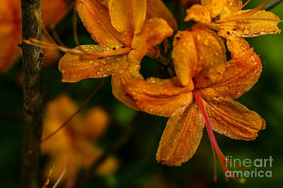 Flame Azalea With Dew Poster by Thomas R Fletcher