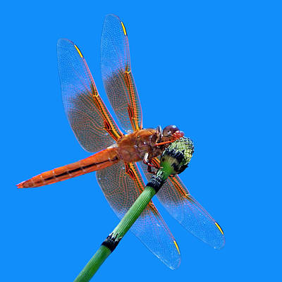 Flame Skimmer #2 - Dragonfly Poster by Nikolyn McDonald