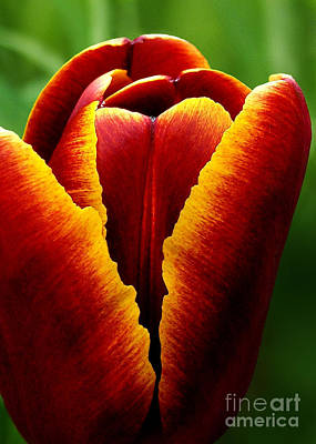 Flaming Heart Tulip Poster