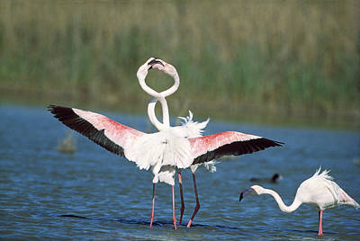 Flamingo Courtship Poster by M. Watson