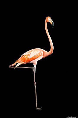Flamingo On Black Poster