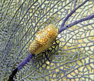 Flamingo Tongue Snail On Purple Fan Coral Poster by Amy McDaniel