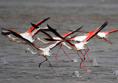 Poster featuring the photograph Flamingoes In Flight by Dennis Cox WorldViews