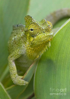 Poster featuring the photograph Flap-necked Chameleon by Chris Scroggins