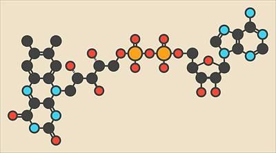 Flavin Adenine Dinucleotide Molecule Poster by Molekuul