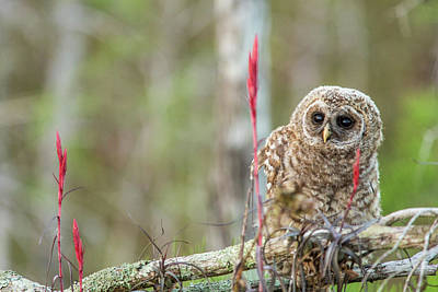 Fledgling Barred Owl (strix Varia Poster
