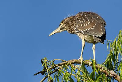 Fledgling Black-crowned Night Heron Poster