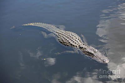 Floating Gator Poster by Carol Groenen