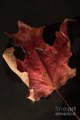 Floating Maple Leaf Poster by Edward Fielding