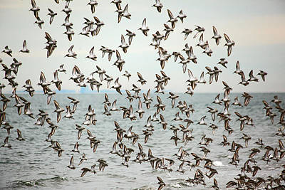 Flock Of Dunlin Poster by Karol Livote