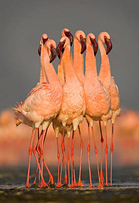 Flock Of Eight Flamingos Wading Poster