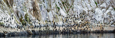 Flock Of Pelagic Cormorants Poster by Panoramic Images