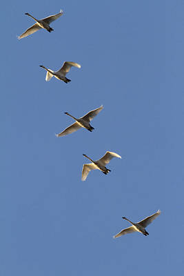 Flock Of Trumpeter Swans In Flight Poster
