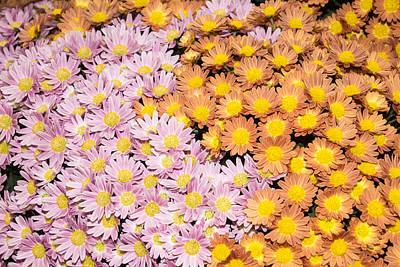 Floral Overflow - Happy Pink And Orange Autumn Mums Poster by Georgia Mizuleva