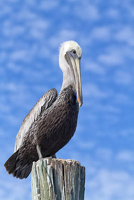 Florida Brown Pelican Poster by Kim Hojnacki